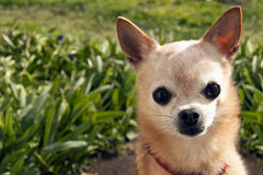 Elderly apple head chihuahua in front of tall grass Royalty Free Stock Images