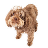 Elderly Blind Rescue Dog Royalty Free Stock Photography
