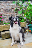 An elderly border collie in a yard Royalty Free Stock Photography