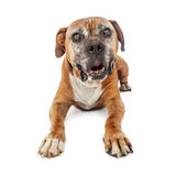 Elderly Boxer Dog Laying Down Royalty Free Stock Photography