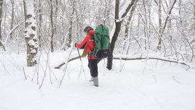 Elderly Caucasian smiling man with Hiking Sticks walks through a snowy forest. Thick dense thicket of trees and roots in. In the snow-covered forest. Hike and stock footage