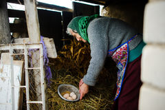 The elderly countrywoman gathers eggs in a hen house. Royalty Free Stock Photo