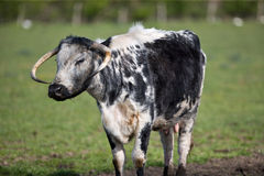 Elderly Cow. Old black and white cow with horns Royalty Free Stock Photography