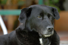 The elderly dog. The labrador Stock Photography