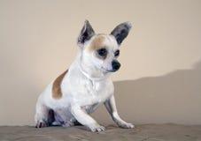 Elderly dog Royalty Free Stock Photo