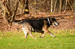 Elderly dog running across green grass. Elderly black and tan dog running across green grass in the sunshine while enjoying a walk in a park or woodland, side Stock Images