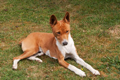 Elderly dog sunbathing on grass royalty free stock images