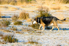 Elderly dog walking through scrubby grassland. Elderly black and tan dog walking through scrubby grassland with dry golden grass as it enjoys its daily walk and Royalty Free Stock Photos