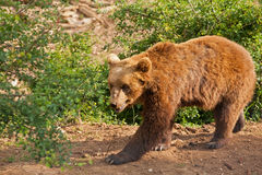 Elderly European brown bear (Ursus arctos) walking Stock Images