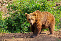 Elderly European brown bear (Ursus arctos) walking Royalty Free Stock Photos