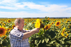 Elderly farmer and sunflowers Royalty Free Stock Photography