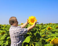 Elderly farmer and sunflowers Stock Images