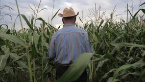Elderly Farmer In A Cowboy Hat Goes Through the Corn Field, View Back. stock video footage