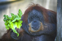 Elderly Female Orangutan - Salad Meal. Tondaleyo or Tonda, a 40 year old female Orangutan, holds onto her selected leaves of lettuce meal while resting against a Stock Image