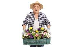 Elderly gardener holding a rack of flowers Royalty Free Stock Image