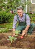 Elderly gardener spud cabbage seedlings. In the garden. May royalty free stock photos