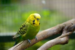 Elderly green budgie perched on branch Royalty Free Stock Photography