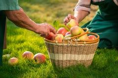 Elderly hands and apple basket. Stock Photos