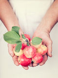 Elderly hands holding fresh apples with vintage style. Elderly hands holding organic fresh apples with vintage style stock image