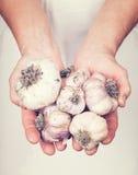 Elderly hands holding fresh garlic with vintage style. Elderly hands holding organic fresh garlic with vintage style stock photography