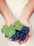 Elderly hands holding fresh wine grapes with vintage sty. Elderly hands holding organic fresh wine grapes with vintage style stock image