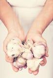 Elderly hands holding organic fresh garlic Royalty Free Stock Photography