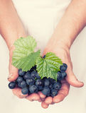 Elderly hands holding organic fresh wine grapes. With retro style royalty free stock photo