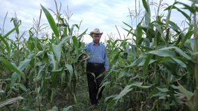 Elderly Farmer In A Cowboy Hat Goes Through the Corn Field, Front View stock video footage