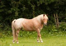 Elderly horse against woodland Royalty Free Stock Image