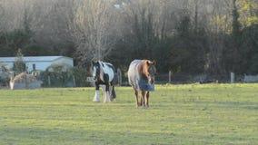 2 elderly horses ambling toward camera looking for handouts. stock video footage