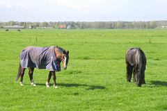 Elderly pensioned labor horses are relaxing in Dutch polder,Holland Royalty Free Stock Image