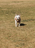 Elderly Jack Russell dog Stock Photo