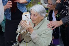 Elderly lady holds a wild young barn owl with tenderness Stock Images