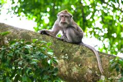 Cute monkeys lives in Ubud Monkey Forest, Bali, Indonesia. royalty free stock photos
