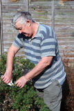 An elderly male gardener pruning a bush. Royalty Free Stock Image