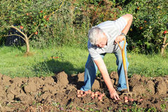 Elderly man digging potatoes. Stock Photos