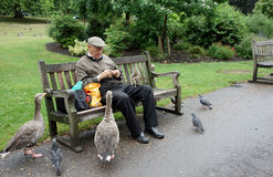 Elderly Man Feeding Geese and Squirrel, St. James  Royalty Free Stock Images