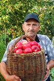 Elderly man with harvesting an apple Royalty Free Stock Image