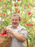 Elderly man harvesting a apple Royalty Free Stock Photography