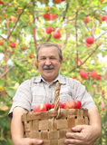 Elderly man harvesting a apple Stock Image