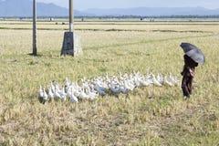 Old man herding geese Stock Image
