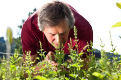 Elderly man in his garden smells on peppermint Stock Images