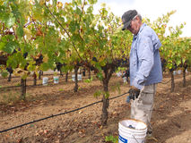 Elderly man picking grapes in vineyard. Elderly man picking grapes for wine making (Merlot) in vineyard. Some growers prefer to work with volunteers and paying Stock Photo
