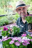 Hobby gardener. Elderly man planting  colorful flowers Osteospermum on the balcony. Hobbies and leisure Royalty Free Stock Photos