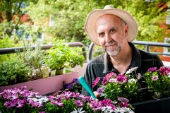 Hobby gardener. Elderly man planting  colorful flowers Osteospermum on the balcony. Hobbies and leisure Royalty Free Stock Image