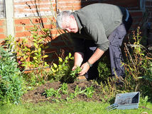 Elderly man planting new seedlings. Royalty Free Stock Image