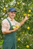 Elderly man plucks ripe apples Royalty Free Stock Images