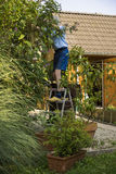 Elderly man pruning bushes in the garden. Elderly man standing on a wooden stepladder pruning bushes in the garden in front of his house in a yard maintenance royalty free stock photos