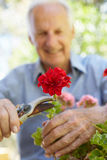 Elderly man pruning geraniums Royalty Free Stock Photography