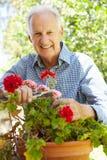 Elderly man pruning geraniums Royalty Free Stock Image